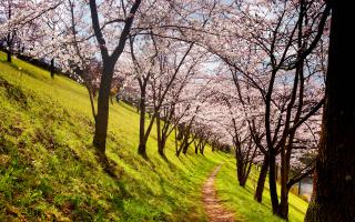 wann blühen kirschbäume